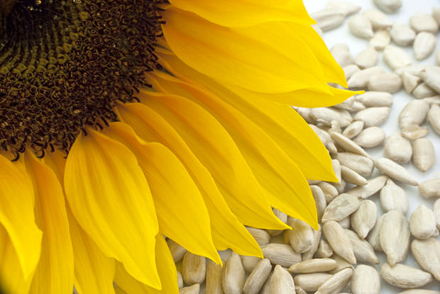 bigstock-Sunflower-With-Seeds--Closeup-5109517