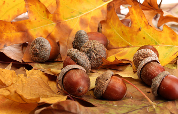 bigstock-brown-acorns-on-autumn-leaves--38972995