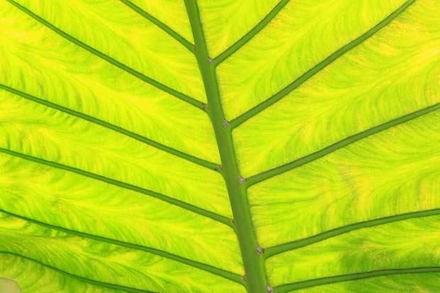 bigstock-Green-Fresh-Arrowroot-Leaf-Tex-47137057
