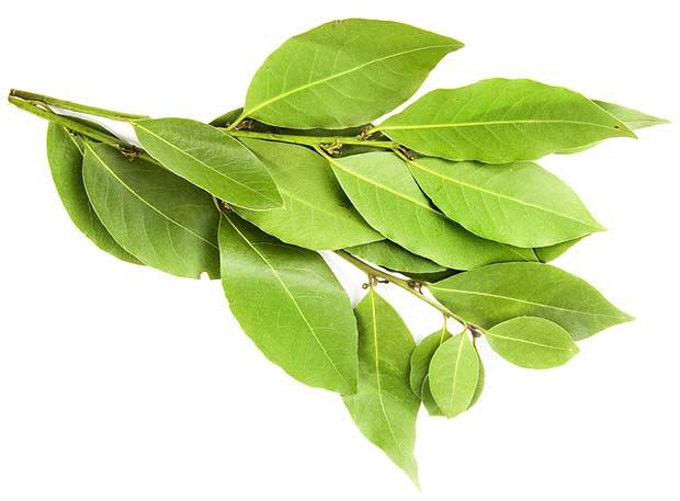 bigstock-branch-of-laurel-bay-leaves-i-22398461